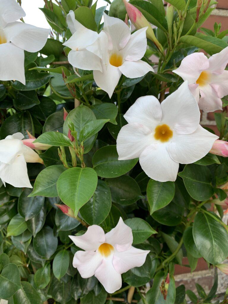 Die Anzahl der Blüten entspricht of der Fibonacci-Folge.