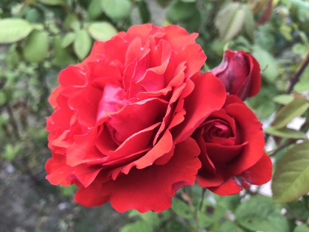 Rosen erhalten unter anderem dann eine spirituelle Bedeutung, wenn Sie diese als Meditationsobjekt nutzen.